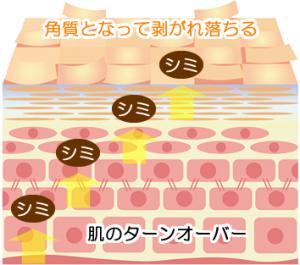 肌のターンオーバーでシミが排出される過程